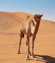 Camels in the desert Royalty Free Stock Photo