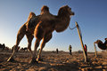 Camels in the desert located inner mongolia ejinaqi china Royalty Free Stock Photos