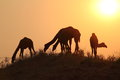 Camels desert sunset india rajhastan travel wild animals Royalty Free Stock Images