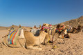 Camels on the egyptian desert hurghada Royalty Free Stock Photo