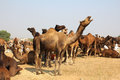 Camels during festival in Pushkar Royalty Free Stock Images