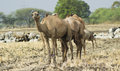 Camels in the field indian domestic Stock Photography