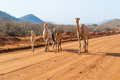 Camels in kenya marsabit february man walking with herd of on marsabit to moyale road Royalty Free Stock Photo