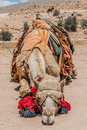 Camels in nabatean city of petra jordan middle east Royalty Free Stock Photos