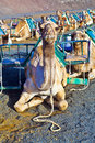 Camels in the national park in Lanzarote Royalty Free Stock Images