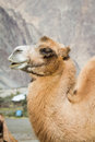 Camels in the nubra valley desert middle of indian himalayas Stock Photography