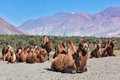 Camels in nubra vally ladakh bactrian himalayas hunder village valley jammu and kashmir india Royalty Free Stock Images