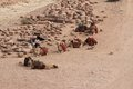 Camels at petra jordan resting Royalty Free Stock Photo