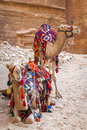 Camels in petra a pair of covered by colorful rugs jordan Stock Photo