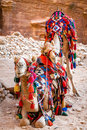 Camels in petra a pair of covered by colorful rugs jordan Royalty Free Stock Images