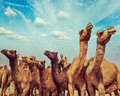 Camels at pushkar mela pushkar camel fair india vintage retro hipster style travel image of with grunge texture overlaid Stock Photos