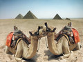 Camels and pyramid in Egypt Royalty Free Stock Photo