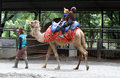 Camels rented out to tourists who explore the zoo in the city of solo central java indonesia Stock Photography