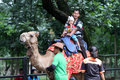 Camels rented out to tourists who explore the zoo in the city of solo central java indonesia Royalty Free Stock Image