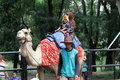 Camels rented out to tourists who explore the zoo in the city of solo central java indonesia Stock Photo