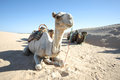 Camels in sahar douz kebili tunisia september beduins leading tourists on at the sahara desert are resting during break time on Royalty Free Stock Photo