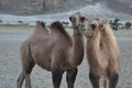 Camels on sand two together having two humps Stock Photo