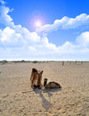 Camels Sitting with cloudy sky Stock Image