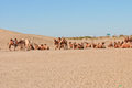 Camels some camesl in desert inner mongolia china Stock Photo