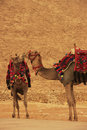 Camels standing by pyramid of khafre cairo egypt Stock Image