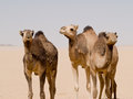 Camels stood in the desert Royalty Free Stock Photo