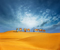 Camels travel through sand of desert dunes. Adventure journey Royalty Free Stock Photo