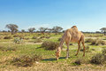 Camels in the uae eating grass desert a rare sight after a rainy winter Stock Image