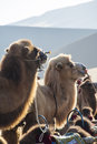 Camels waiting for the visitors beside the sand dunes Stock Photography