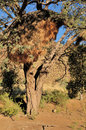Camelthorn tree sociable weaver community nest Royalty Free Stock Photo