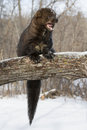 Camera shy a big fisher on log with mouth open and teeth showing Royalty Free Stock Photo