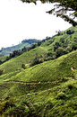 Cameron highlands tea plantation in malaysia Royalty Free Stock Photography
