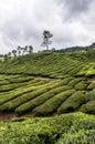 Cameron highlands tea plantation in malaysia Stock Image