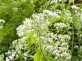 Camfhur grass flower or Siam weed Royalty Free Stock Photo
