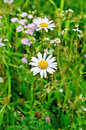 Camomile on background of grass white camomiles a green and different flowers Royalty Free Stock Photos