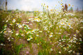 Camomile beautiful field spring time Stock Images