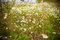 Camomile beautiful field spring time Royalty Free Stock Images