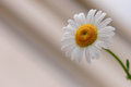 Camomile beauty and nature background Stock Image