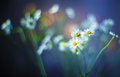 Camomile bouquet flowers nature bokeh beauty Stock Photos