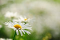 Camomile close up of a flower on a glade on a sunny summer day Stock Images