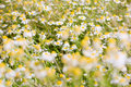 Camomile field Stock Photos