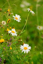 Camomile field Royalty Free Stock Images