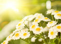 Camomile field Royalty Free Stock Photo