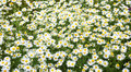Camomile field camomiles in the afternoon summer on meadow Stock Images
