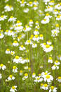 Camomile field II Stock Photos