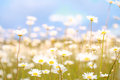 Camomile field. Royalty Free Stock Photo