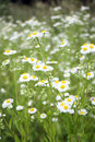 Camomile field of white flowers Stock Images