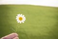 Camomile flower in hand Royalty Free Stock Photo