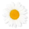 Camomile flower isolated white background clipping path included Royalty Free Stock Photos