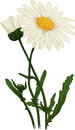 White Camomile flower. Oxeye daisy. Vector