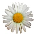Camomile flower vector isolated on white background Stock Photos